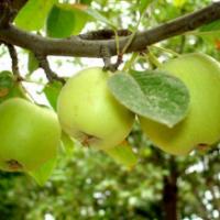 Яблочная диета. Вкусное похудение!